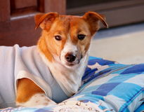 Jack Russel Royalty Free Stock Images