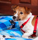 Jack Russel Stock Photography