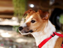 Jack Russel Stock Image