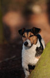 Jack Russel Henck Stock Photo