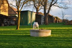 Jack Russel im Garten Lizenzfreies Stockfoto