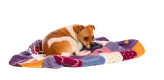Jack russel on knitted blanket Stock Images