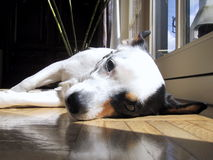 Jack Russel Laying Down Royalty Free Stock Photo