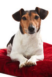 Jack Russel laying on pillow Royalty Free Stock Image