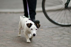 Jack russel leash Royalty Free Stock Photos