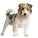 Jack russel long haired. In front of a white background royalty free stock photography