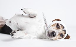 Jack Russel lying ill. A Jack Russel lying, looking to the camera with head bandage, isolated royalty free stock images