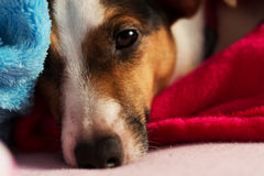 Jack Russel after getting up. Royalty Free Stock Photos