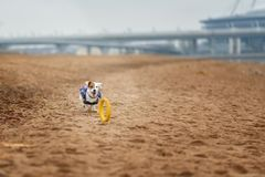 Jack Russel Parson Dog Run Toward The Camera. Low Angle High Speed Shot royalty free stock photography