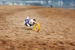 Jack Russel Parson Dog Run Toward The Camera. Low Angle High Speed Shot stock photos