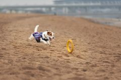 Jack Russel Parson Dog Run Toward The Camera. Low Angle High Speed Shot stock photography