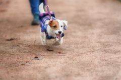 Jack Russel Parson Dog Run Toward The Camera. Low Angle High Speed Shot stock image