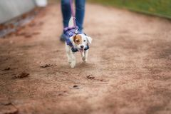 Jack Russel Parson Dog Run Toward The Camera. Low Angle High Speed Shot royalty free stock image