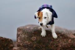 Jack Russel Parson Dog Run Toward la macchina fotografica fotografia stock