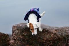 Jack Russel Parson Dog Run Toward la macchina fotografica fotografie stock