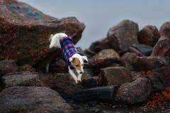 Jack Russel Parson Dog Run Toward la macchina fotografica immagini stock