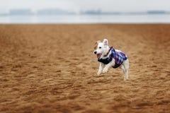 Jack Russel Parson Dog Run Toward la macchina fotografica immagine stock libera da diritti
