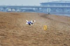 Jack Russel Parson Dog Run Toward la macchina fotografica fotografia stock libera da diritti