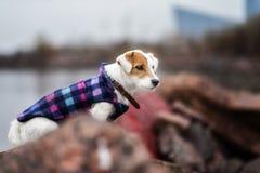 Jack Russel Parson Dog Run Toward la macchina fotografica immagine stock
