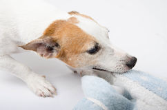 Jack russel playing bite towel portrait Royalty Free Stock Image