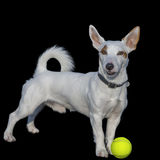 Jack Russel plays tennis. Jack Russel with tennis ball, on black background Royalty Free Stock Photos