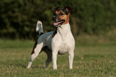 Jack Russel Portrait Stock Images