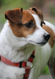Jack Russel portrait Royalty Free Stock Photos