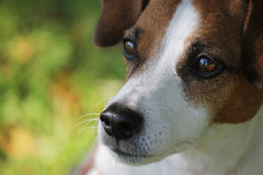 Jack Russel Portrait Stock Photography