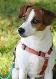 Jack Russel Portrait Stock Photo