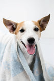 Jack russel portrait with towel on white background Royalty Free Stock Photography