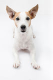 Jack russel portrait on white background, Royalty Free Stock Photography