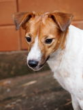 Jack Russel Stock Images