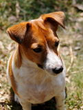 Jack Russel Royalty Free Stock Photos
