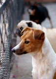 Jack Russel Royalty Free Stock Photo