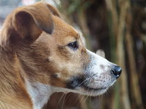 Jack Russel Royalty Free Stock Photography