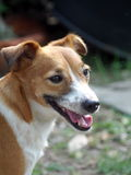 Jack Russel Royalty Free Stock Image