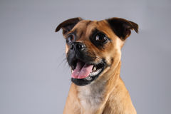 Jack Russel - Pug mix. Portrait of a Jack Russel and Pug mix dog Royalty Free Stock Photo