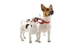 Jack russel pup with a grown up jack russel Royalty Free Stock Image