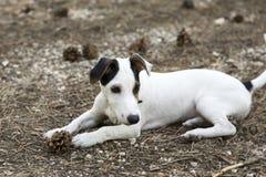 Jack Russel Puppy Stockbilder
