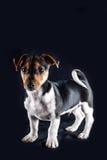 Jack Russel Puppy Lizenzfreie Stockfotos