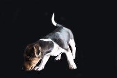 Jack Russel Puppy Lizenzfreie Stockbilder
