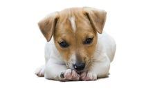 Jack Russel-puppy Royalty-vrije Stock Afbeeldingen