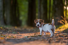 Jack. Russel puppy on autumn alley stock photography