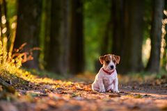 Jack russel puppy on autumn alley stock image
