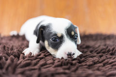 Jack russel puppy dog on cloth Royalty Free Stock Images