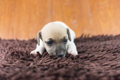 Jack russel puppy dog on cloth Stock Photography