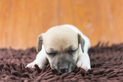 Jack russel puppy dog on cloth Stock Photos