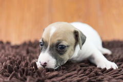 Jack russel puppy dog on cloth Royalty Free Stock Image