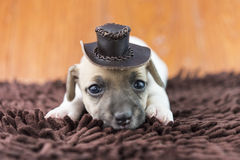 Jack russel puppy dog on cloth and hat Stock Images