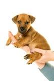 Jack Russel-puppy in handen wordt in wit worden geïsoleerd gehouden dat royalty-vrije stock afbeelding